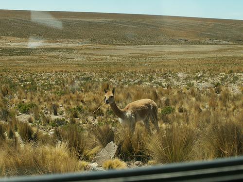 Pampa Galeras, en busca de las vicuñas del Perú